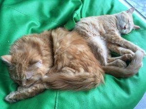 セブ島に猫カフェ上陸。留学中の疲れを癒しにいったら至高だった