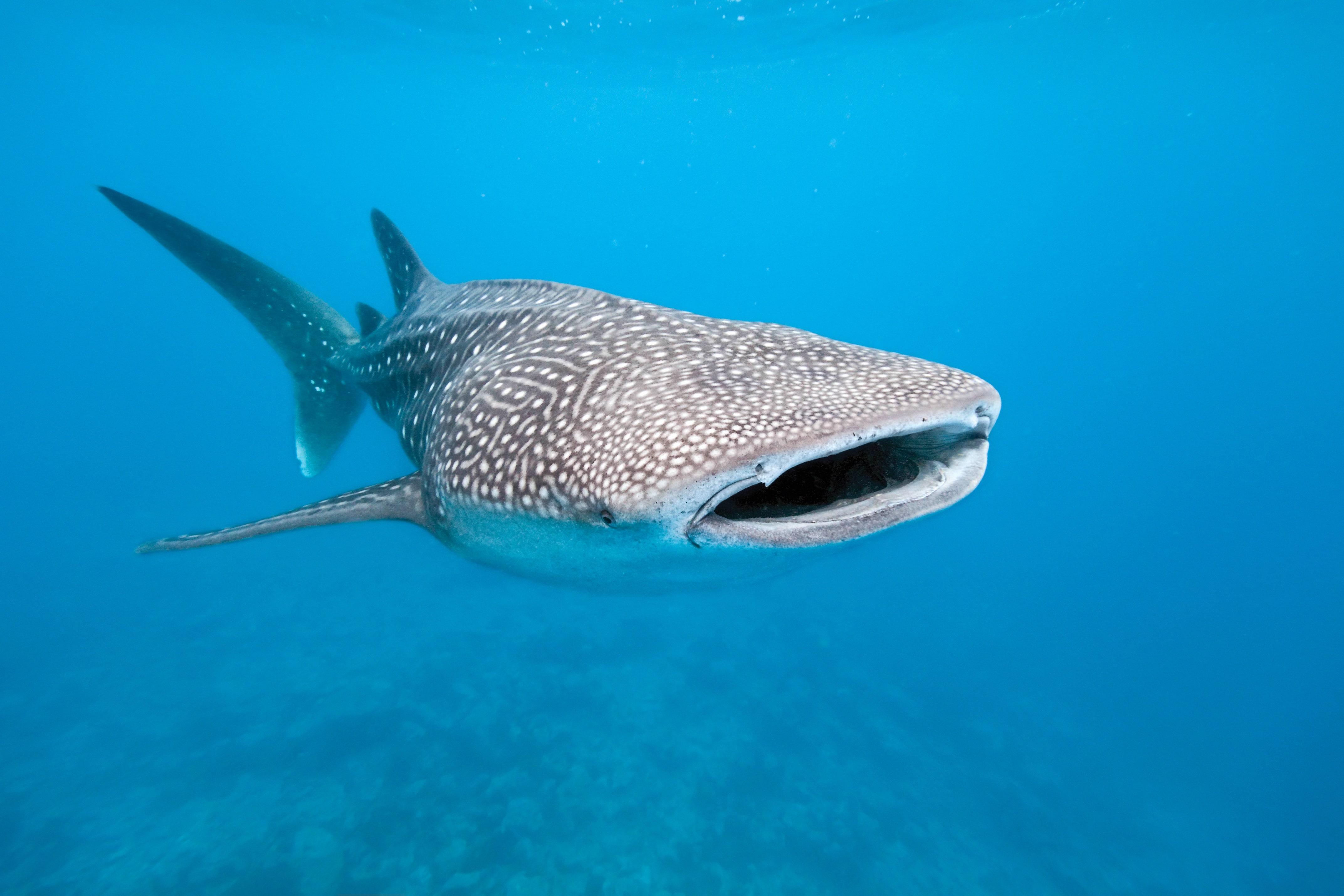 【セブ島】ジベンベイザメに会えるオスロブ、ウミガメに会えるモアルボアルへの行き方